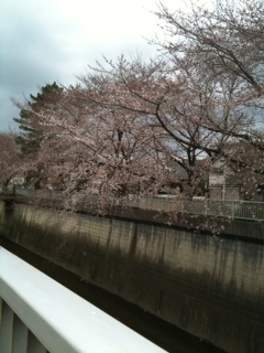 桜 咲き始め